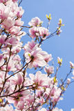 Pink magnolia tree flower outdoor in spring Stock Image
