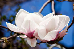 Pink magnolia tree flower outdoor in spring Stock Photography