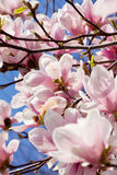 Pink magnolia tree flower outdoor in spring Stock Photo