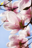 Pink magnolia tree flower outdoor in spring Royalty Free Stock Photos