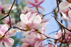 Pink magnolia tree flower outdoor in spring Royalty Free Stock Photography
