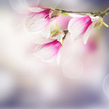 Pink  magnolia tree Flowers Stock Photos