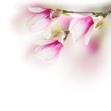 Pink  magnolia tree Flowers Royalty Free Stock Photos