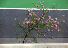 Pink magnolia tree and street lane seen from above Stock Images