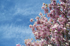 Pink magnolia trees over blue sky Royalty Free Stock Images