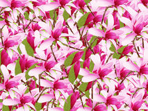 Pink magnolias Stock Photo