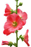 Pink mallow. Pink isolated mallow on a white background Stock Images