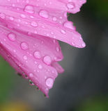 Pink mallow. Water droplets on a pink mallow Royalty Free Stock Photography