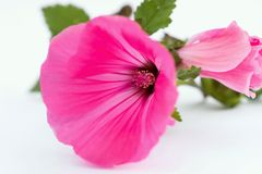 Pink mallow. Blooming pink mallow flower, closeup on white background Stock Images