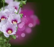 Pink mallow blossoms Royalty Free Stock Photos