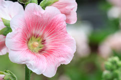 Pink mallow in Blurred Background, Hollyhock, Alcea rosea Stock Images