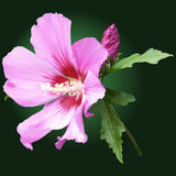 Pink mallow flower with buds. Pink mallow flower on a dark-green background Stock Photo