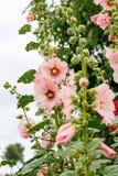 Pink mallow in a flower garden. Beautiful Ukrainian flowers_. Pink mallow in a flower garden. Beautiful Ukrainian flowers Royalty Free Stock Photos