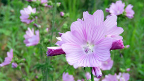 Pink Mallow flower or Malva alcea. Pink flower with enroled leaves in Volkspark in Enschede, the Netherlands Stock Image