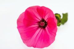 Pink mallow flower. One pink malva flower on white background, closeup Stock Photo