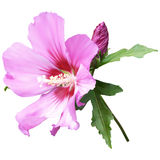 Pink mallow flower. On a white background Stock Photography
