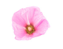 Pink mallow flower. On a white background Stock Photos