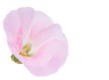 Pink mallow flower. On a white background Royalty Free Stock Photos