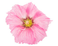 Pink mallow flower. On a white background Royalty Free Stock Images