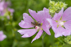 Pink mallow flowers with bee. Close up view of the working bee o Royalty Free Stock Photos