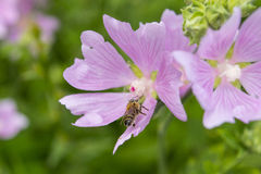 Pink mallow flowers with bee. Close up view of the working bee o. N a hollyhock flower. Blooming Hibiscus Royalty Free Stock Image