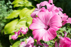 Pink mallow flowers blossom on a leaves background Royalty Free Stock Photography