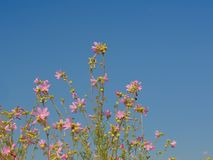Pink mallow flowers on a blue sky background. Low angle view Royalty Free Stock Photo