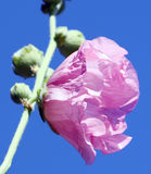 Pink mallow flowers. On bright spring blue sky background Royalty Free Stock Image