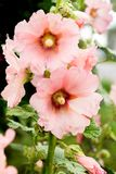 Pink mallow flowers close-up. Flowers that grow in Ukraine_. Pink mallow flowers close-up. Flowers that grow in Ukraine Royalty Free Stock Image
