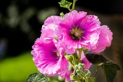 Pink mallow flowers close-up on a summer sunny day_. Pink mallow flowers close-up on a summer sunny day Royalty Free Stock Images
