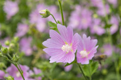Pink mallow flowers. Close up view of the blooming a hollyhock f Stock Photography