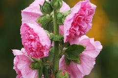 Pink mallow flowers. In the garden at summer Royalty Free Stock Photos