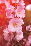 Pink mallow flowers. In the garden at summer Stock Images