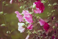Pink mallow flowers. In the garden at summer Stock Image