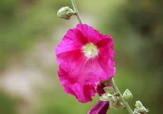 Pink mallow flowers. In the garden at summer Royalty Free Stock Photo