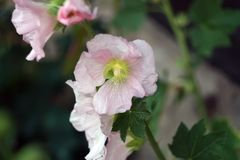 Pink mallow flowers. In the garden at summer Stock Photo