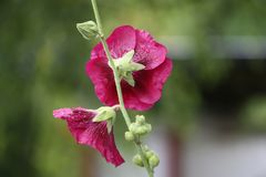 Pink mallow flowers. In the garden at summer Stock Photos