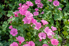 Pink mallow flowers in the home garden. Pink mallow or malva flowers in the home garden Royalty Free Stock Image