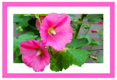 Pink mallow flowers in pink frame. On a white background Royalty Free Stock Photography