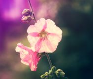 Pink mallow flowers. In the garden at summer Royalty Free Stock Image