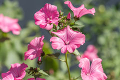 Pink mallow Stock Photography