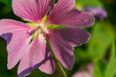 Pink mallow in the garden. Royalty Free Stock Photo