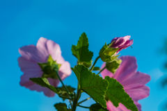 Pink mallow in the garden. Stock Photo