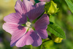 Pink mallow in the garden. Stock Image