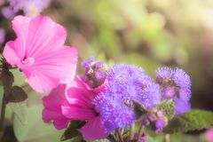 Pink mallow in the garden close-up. On a blurred background Stock Photo