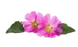Pink mallow isolated. On white background Stock Images