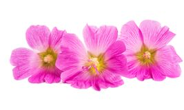 Pink mallow isolated. On white background Stock Photography