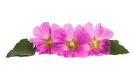 Pink mallow isolated. On white background Royalty Free Stock Photography