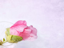 Pink mallow (Malva) in crystal glass Royalty Free Stock Images