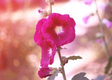 Pink mallow plants. Pink mallow plant with blooming flowers in the summer garden Stock Image